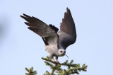 Mississippi Kite...2014