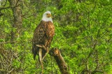 Manitoba Eagles