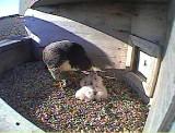 chick feeding.JPG