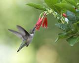 2015 Hummingbirds