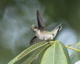 2016 Hummingbirds
