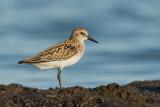 Shorebirds , Gulls , Terns and Cormorants