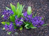 Neighborhood Flowers in Early Spring 2014 03 (Mar) 30