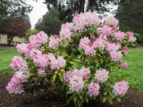 Front Lawn Rhododendron Plant Peaking 2014 05 (May) 08