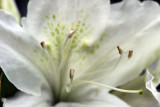 White Azalea in Bloom