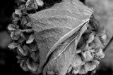 November Hydrangea and Its Leaf (BW)