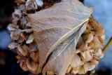 November Hydrangea and Its Leaf