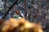 Caught an Oak Leaf