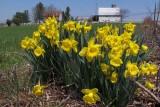 Daffodils on the Farm
