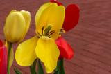 Tormented Tulip