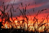Sunset Through the Grasses