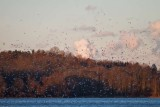 Snow Geese at Marsh Creek State Park