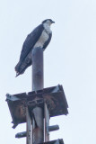 Our Sea Isle Osprey #1