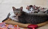 Bangkok Broom Cats