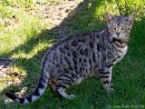 A neighbours bengal-cat Zorro