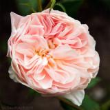30/6 William Morris, Austin rose