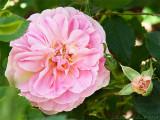 Wedgwood Rose