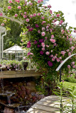 Constance Spray rose & clematis, great combo!