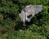 IMG_0029great bl heron wing.jpg