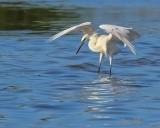 IMG_0480reddish egret white.jpg