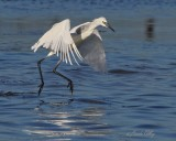 IMG_0485reddish egret white.jpg