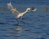 IMG_0486reddish egret white.jpg