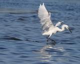 IMG_0490reddish egret white.jpg