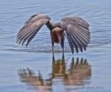 IMG_1729reddish egret.jpg