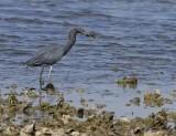 _MG_3852little blue heron.jpg