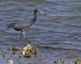 _MG_4151little blue heron.jpg