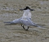 _MG_5513sandwitch terns.jpg