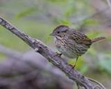 _MG_8007lincolns sparrow.jpg