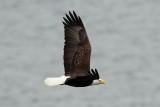 Bald Eagle, Grand Manan