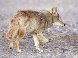 Coyote at dawn, Death Valley