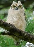 Great Horned Owl fledgling 2, Appleton Farms