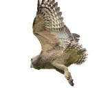 Great Horned Owl fledgling, Appleton Farms