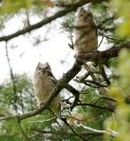 Great Horned Owl fledglings, Appleton Farms