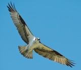 Osprey overhead, Rowley marshes