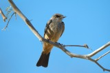 Say's Phoebe, Death Valley