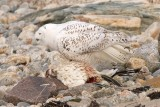 Snowy Owl individual no. 1, eating Northern Gannet
