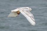 snowy flying with prey