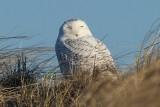 Snowy Owl on dune Dec 27