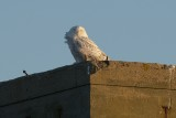 Snowy Owl on tower Dec 27