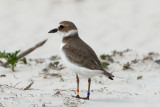 banded Wilson's Plover no. 2, St George Island