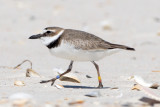 banded Wilson's Plover no. 3, St George Island