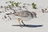 banded Piping Plover COO, St George Island