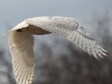Crane Beach snowy owl Apr 2014