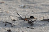 Least Tern making nest scrape