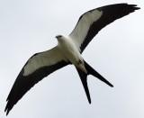 Swallow-Tailed Kite overhead