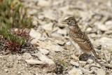 Horned Lark fledgling